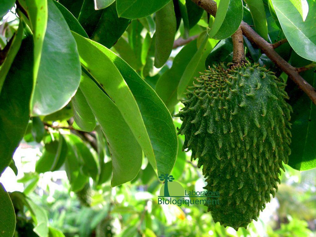 Acheter du fruit et des feuilles de graviola corossol sur Biologiquement