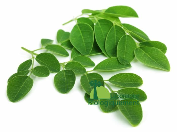 La feuilles de moringa bio
