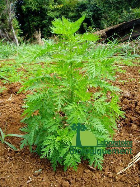 Artemisia annua bio du laboratoire Biologiquement